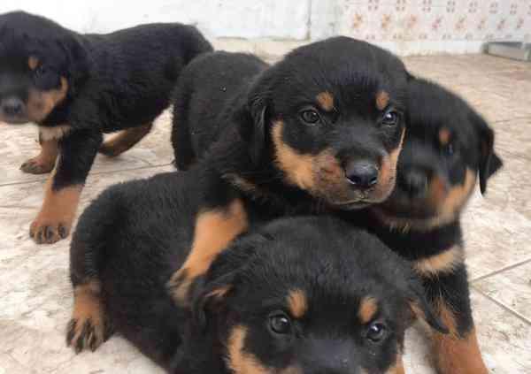 Filhotes Rottweiler Cabeça Touro